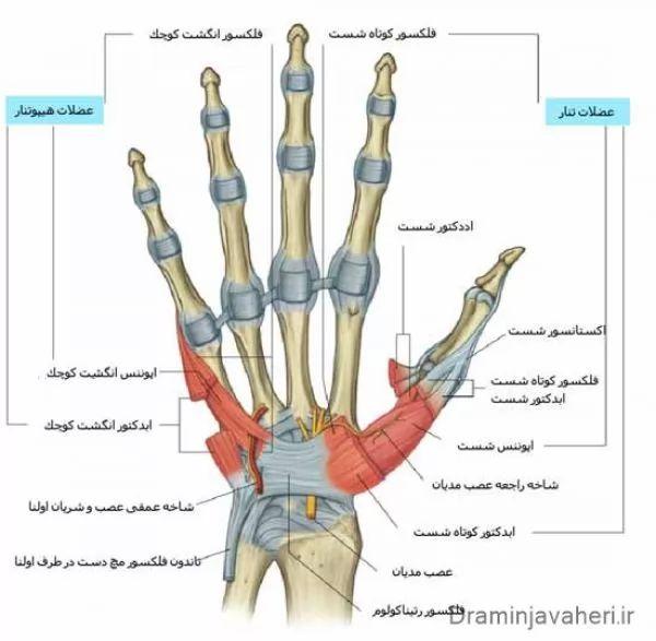 آناتومی دست